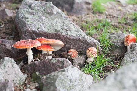 Poisonous mushrooms photo