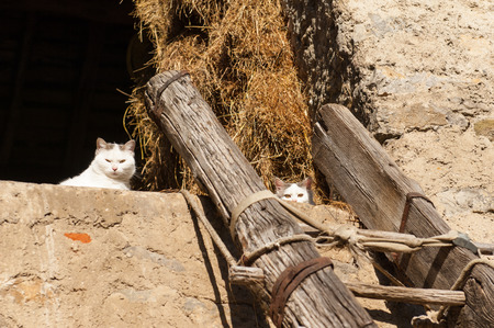 withe: two white cats upper a wood scale Stock Photo