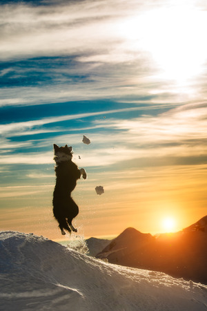 Border collie jumps in the snow photo