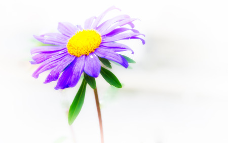 violet flower with withe background photo
