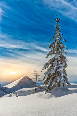 lone pine: Lone pine tree in the snow