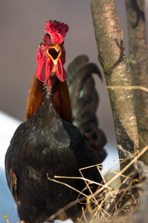 beak: Hen with open beak Stock Photo