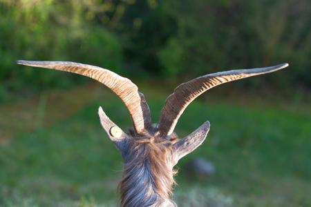goat horns: Goat horns grazing Stock Photo