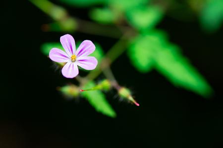 pacific: Geranium robertianum Stock Photo