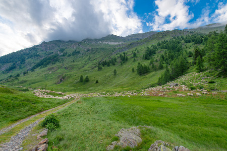 onion valley: Transhumance of sheep in the mountains
