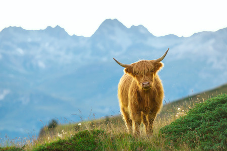 highlander: Highlander - Scottish cow On the Swiss Alps