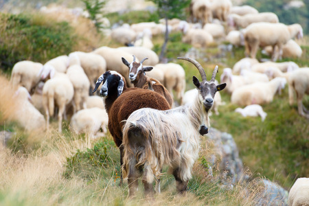 Goats and sheep together, a sheep dark