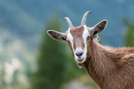 toggenburg: A goat looks at us Stock Photo