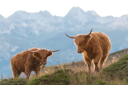 highlander: Dos Highlander - vaca escocesa en los Alpes suizos Foto de archivo