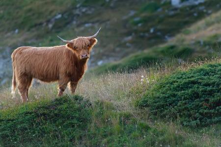 highlander: Highlander - vaca escocesa en el prado