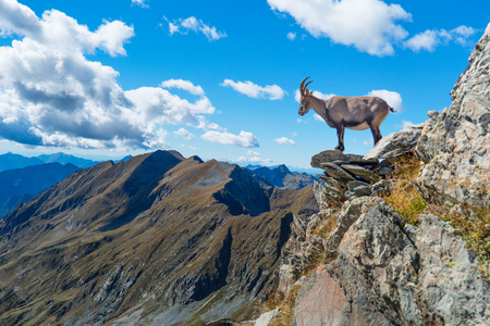 Ibex on rock in the mountains looks at the view Stock Photo
