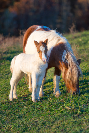 shetland pony: Pony horses mother with little in the meadow Stock Photo