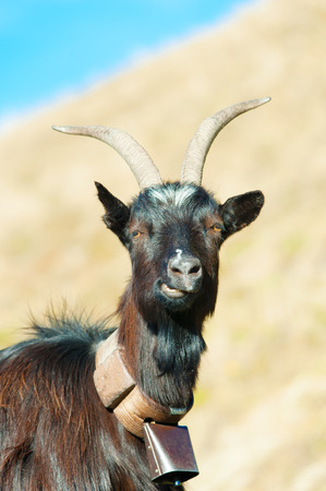 ruminant: Goat ruminant with cowbell