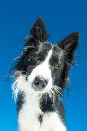 blu sky: portrait of Border Collie in the blu sky Stock Photo