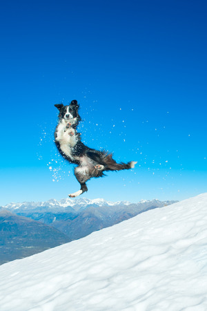 Border Collie jumps on snow slope in the mountains Stock Photo