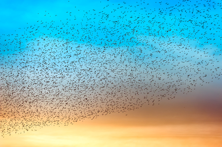 Flock of many birds at sunset Stock Photo