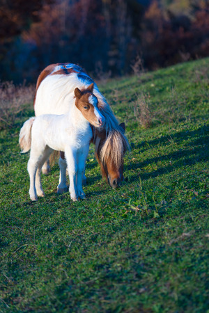 farmlife: Wild Dartmoor pony, mother and foal Stock Photo