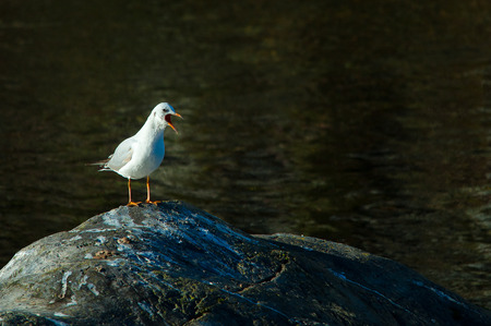 squawk: Seagull with open beak on a stone Stock Photo