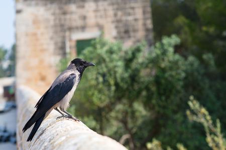 bird of israel: Hooded Crow in Jerusalem Israel