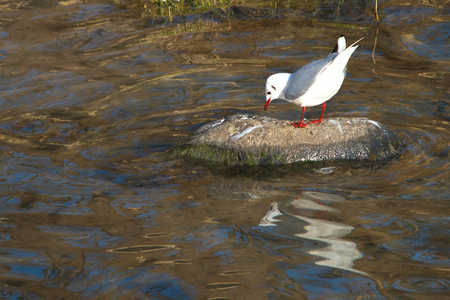 river rock: Seagull on the rock to the river