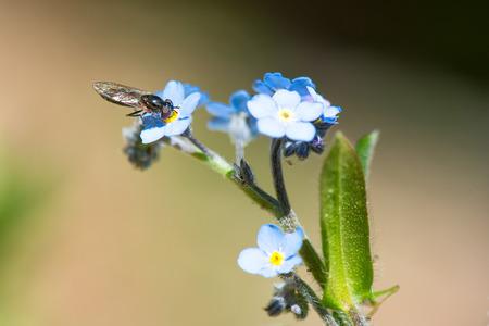 sucks: Wasp sucks from a blue flower in spring