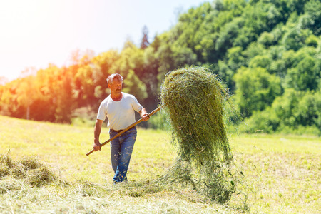 pitchfork: Farmer with a pitchfork collecting hay under the sun