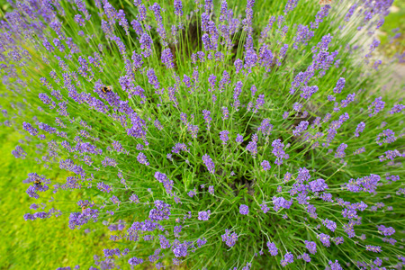 lavanda: Plant lavender in the spring photographed from above Stock Photo