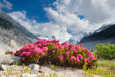 glaciers: Rhododendrons under mountains of glaciers in the Alps in the summer