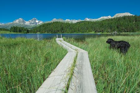 swimm: dog looks the lake of staz  in swiss