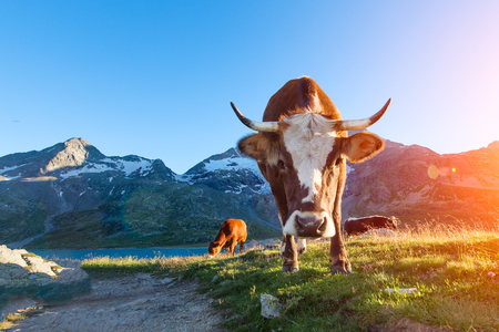 Cow with long horns grazing in the mountains to sun in the summer Stock Photo