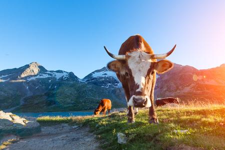 Koe met lange hoorns die in de bergen aan zon in de zomer weiden