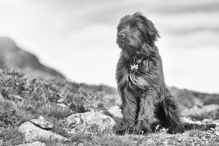 faraway: Sheepdog in the mountain faraway look black and white