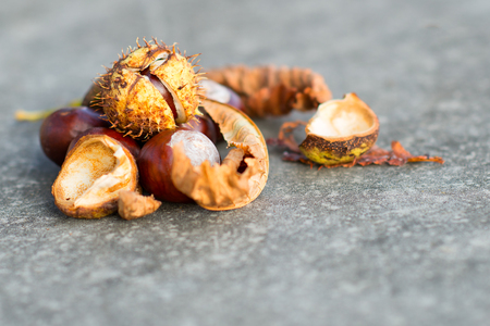 horse chestnut seed: Horse chestnut chestnuts curl and leaf isolated