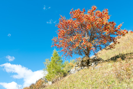 sorbus: Sorbus aucuparia tree in full autumn bloom