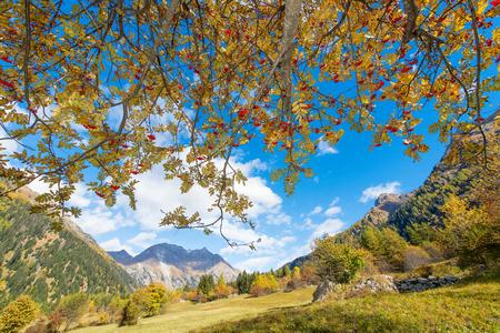 sorbus aucuparia: Sorbus aucuparia tree in full autumn bloom in the Swiss Alps