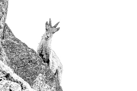 capra: Ibex design from photography on white background Stock Photo