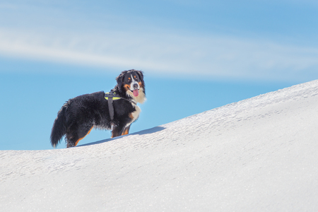 Dog Bernese Mountain Dog in the snow in the mountains looks at his master Stock Photo