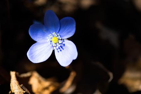 liverwort: Hepatica nobilis in the north Italy woods among the sunbeams