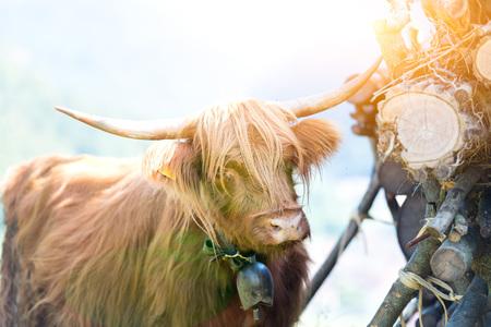 Highlander Scottish cow grazing in summer.