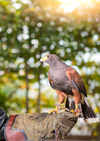 Parabuteo unicinctus - harris hawk in an animal center with paws on a protective glove. Stock Photo