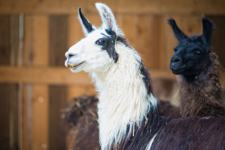 Some lama in an animal center and farmhouse.