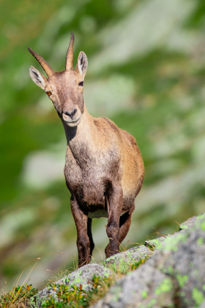 Ibex among the rocks and meadows of the Alps of northern Italy.