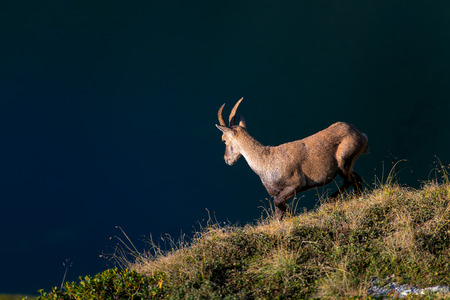 Ibex in a meadow above an alpine pond.