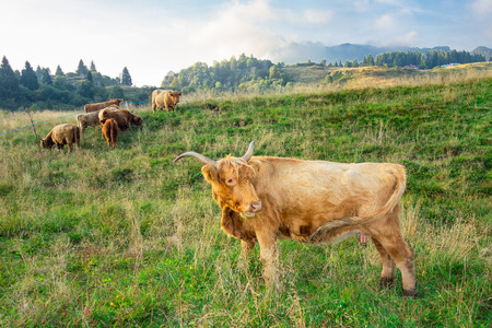 Highland cow breed in mountain pasture.