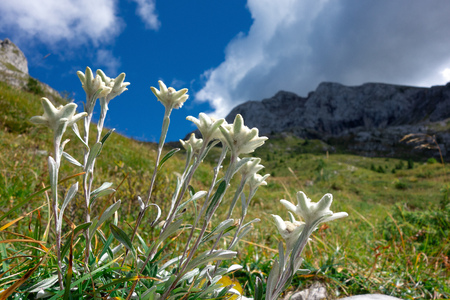Groups of Edelweiss mountain flowers in the limestone mountains. Stockfoto