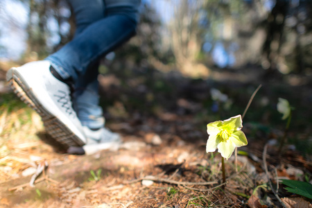A flower in the woods in spring while a hiker passes by Stock Photo
