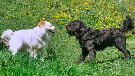 Two dogs. One white and one black play together Imagens