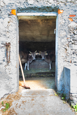 Stable with cows in the Italian Alps