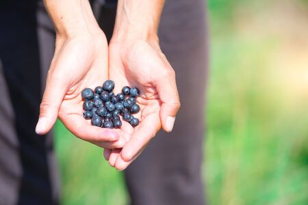 Freshly picked fresh blueberries in hand