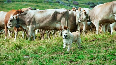 Shepherd dog after having gathered a herd of cows